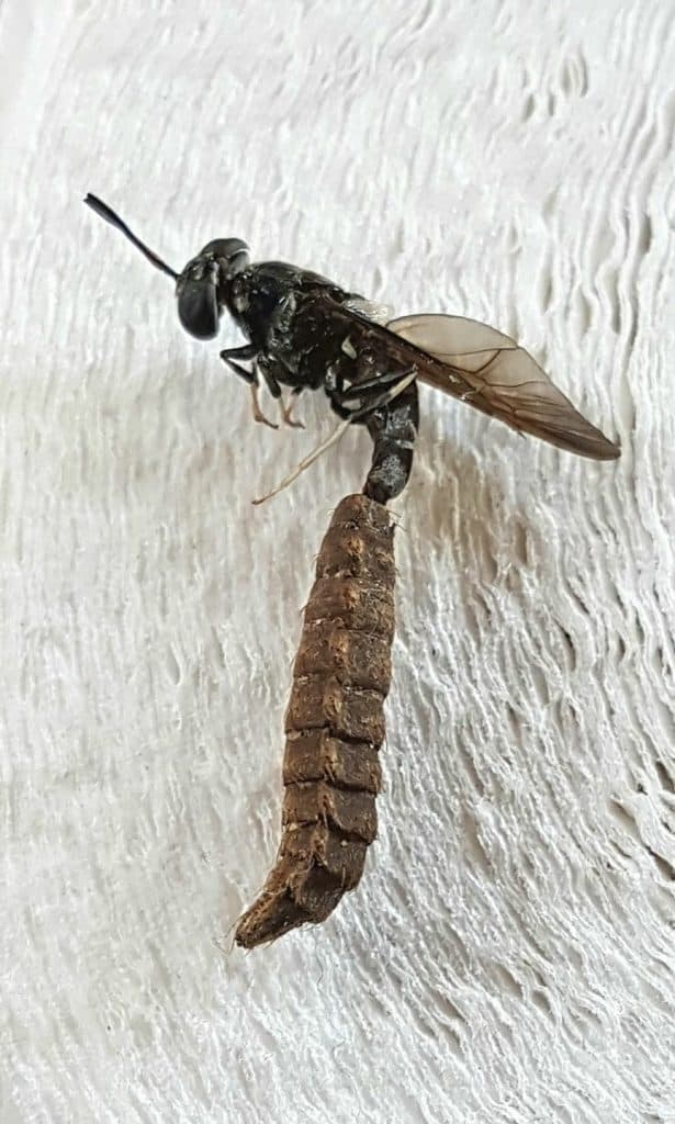 black soldier fly emerging